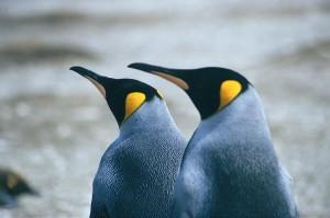 Kral penguenleri